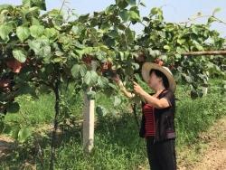 猕猴桃果园土壤改良,应该怎样去科学管理?
