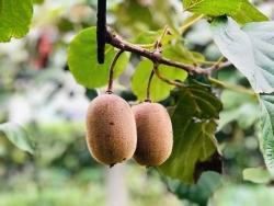 绿油油的猕猴桃果树枝干,果农们看了好焦急