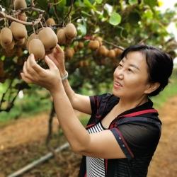 长尾蓝鹊猕猴桃教大家黄心猕猴桃的保存方法