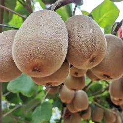 武功金艳猕猴桃带来小知识:黄心猕猴桃皮可以吃嘛?